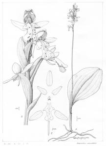 ©1992 Vera Ming Wong (Amerorchis rotundifolia)