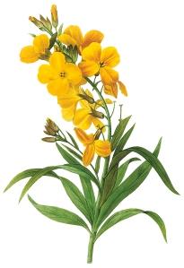 Cheiranthus flavus (Wallflower) by Pierre Joseph Redouté