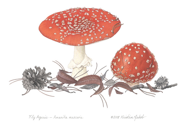 Fly Agaric Drawing Fly Agaric © Kristin Jakob