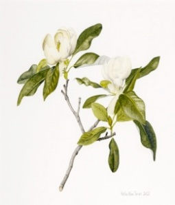 Magnolia virginiana painted by Keiko Tarver, a member of the Philadelphia Society of Botanical Artists. The magnolia is one of the American plants sent to England by John Bartram whose garden was and is still in Philadelphia.