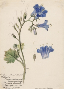Stella Sherwood Vosburg, (1869–1943) Phacelia campanularia ssp. vasiformis, Desert Bells, Mojave Desert. 1929. Watercolor on paper. Private collection.