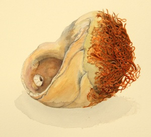 "Moonshell and Kelp Foothold, watercolor, 11"" x 10"", © S. Birzer. All rights reserved"