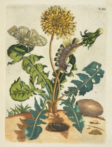 Paardebloem [De Europische insecten], Merian, Maria Sibylla, 1647-1717,Transfer print, hand-colored, 1730, Dandelion, with caterpillar. Digital image courtesy of the Getty's Open Content Program.
