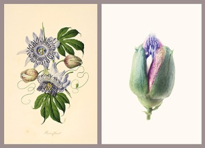 Left, Passiflora [Passiflora serratodigitata Linnaeus, Passifloraceae], watercolor on paper by John Tyley (Antigua/England?, early 19th century), ca.1802, 42 × 27 cm, HI Art accession no. 0849.36 and right, Passion flower [Passiflora Linnaeus, Passifloraceae], watercolor on paper by Martin J. Allen (England), 2006, 51 × 73 cm, HI Art accession no. 7862, © 2006, Martin J. Allen, All Rights Reserved.