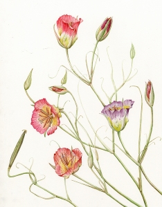 Mariposa Lily, © Joan Keesey, All rights reserved