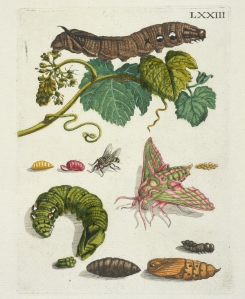Druivenblossem [De Europische insecten] , Merian, Maria Sibylla, 1647-1717 , Engraving, hand-colored ,1730. Digital image courtesy of the Getty's Open Content Program.