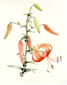 ©2014 Pat Field, Lilium tigrinum (Tiger Lily). AllRightsReserved