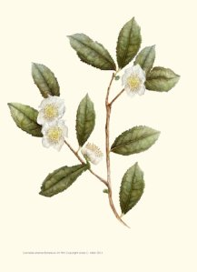 'Afternoon Tea' Camellia sinensis  © 2013 by Linda C. Miller