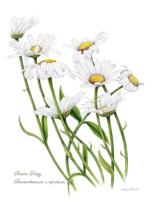 Shasta Daisy. © Nancy Wheeler Klippert. All rights reserved