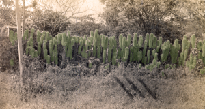 Cactus Stand in Jamaica, ca. 1895, by Curtis Gates Lloyd (modern colorization of historic b&w photo)