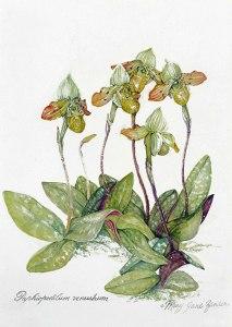 Paphiopedilum venustrum © Mary Jane Zander, All rights reserved