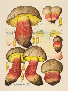 Boletus calopus Fr. [Boletus calopus Persoon, Boletaceae], watercolor on paper by Aurel Dermek (1925–1989), 1965, for Dermek and Albert Pilát, Poznávajme Huby (Bratislava, Veda, t. Tlač. SNP-Neografia, Martin, 1974, pl. 58), 30 x 21 cm, HI Art accession no. 6084.2.