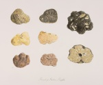 French and Italian Truffles [Tuber melanosporum Vittadini and Tuber magnatum pico Vittadini, Tuberaceae], watercolor on paper by Dorothee de Sampayo Garrido-Nijgh (1941–), 2009, 33.5 x 39 cm, HI Art accession no. 7782.