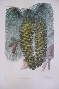 Pinus strombiformis, No. 6/20