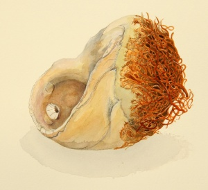 "Kelp Holdfast, watercolor, 11"" x 10""; © Sharon Birzer, All rights reserved"