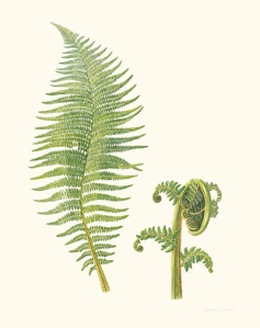 Soft Tree Fern, Dicksonia antarctica [Dicksonia antarctica Labillardière, Dicksoniaceae], watercolor on paper by Laurie Andrews (1936–), 2008, 76.5 ◊ 56.5 cm, HI Art accession no. 8078, reproduced by permission of the artist.
